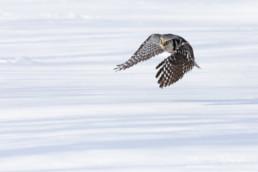 Alex Wünsch Naturfotografie Finnland Sperbereule Flug Surnia ulula