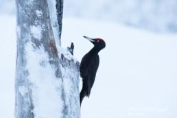 Alex Wünsch Alexandra Wünsch Einblick-Natur Fotografie Naturfotografie Winter Finnland Kuusamo Schnee Schwarzspecht Dryocopus martius