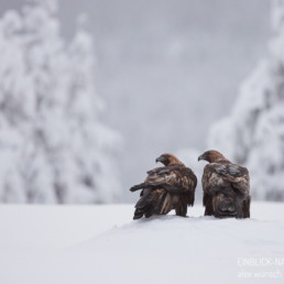Alex Wünsch Alexandra Wünsch Einblick-Natur Fotografie Naturfotografie Winter Finnland Kuusamo Schnee Steinadler Aquila chrysaetos