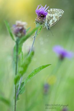 Alex Wünsch Alexandra Wünsch Einblick-Natur Fotografie Naturfotografie Sommer Frankreich Provence Schachbrettfalter Melanargie galathea