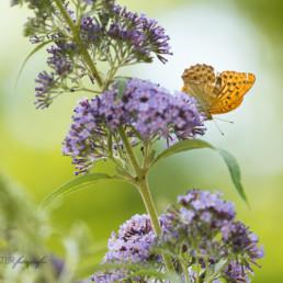 Alex Wünsch Alexandra Wünsch Einblick-Natur Fotografie Naturfotografie Sommer Kaisermantel Tagfalter Schmetterling Argynnis paphia