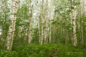 Alex Wünsch Alexandra Wünsch Einblick-Natur Fotografie Naturfotografie Sommer Birkenwald Finnland Nordkarelien