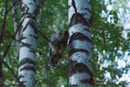 Alex Wünsch Alexandra Wünsch Einblick-Natur Fotografie Naturfotografie Sommer Nordkarelien Finnland Habichtskauz Strix uralensis Jungtier