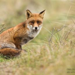 Alex Wünsch Alexandra Wünsch Einblick-Natur Fotografie Naturfotografie Herbst Rotfuchs vulpes vulpes
