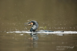 Alex Wünsch Alexandra Wünsch Einblick-Natur Fotografie Naturfotografie Komoran Phalacrocorax carbo