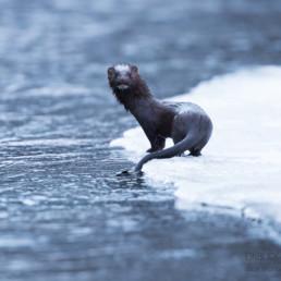 Alex Wünsch Alexandra Wünsch Einblick-Natur Fotografie Naturfotografie Winter Finnland Schnee Mink American Mink Neovison vison
