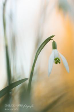 Alex Wünsch Alexandra Wünsch Einblick-Natur Fotografie Naturfotografie Frühling Düsseldorf Schneeglöckchen galanthus