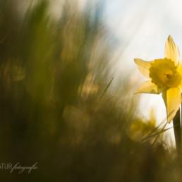 Alex Wünsch Alexandra Wünsch Einblick-Natur Fotografie Naturfotografie Frühling Eifel Wilde Narzissen narcissus pseudonarcissus