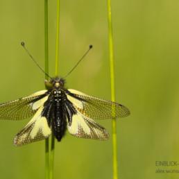 Alex Wünsch Alexandra Wünsch Einblick-Natur Fotografie Naturfotografie Deutschland Libellen Schmetterlingshaft Libelloides coccajus