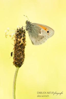 Alex Wünsch Alexandra Wünsch Einblick-Natur Fotografie Naturfotografie Deutschland Tagfalter Schmetterling Kleines Wiesenvögelchen Coenonympha pamphilus