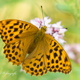 Alex Wünsch Alexandra Wünsch Einblick-Natur Fotografie Naturfotografie Deutschland Eifel Tagfalter Schmetterling Kaisermantel Argynnis paphia