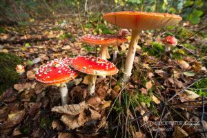 Alex Wünsch Alexandra Wünsch Einblick-Natur Fotografie Naturfotografie Deutschland Herbst Fliegenpilz Rheinland NRW