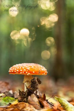 Alex Wünsch Alexandra Wünsch Einblick-Natur Fotografie Naturfotografie Deutschland Herbst Fliegenpilz Rheinland NRW Nadelwald
