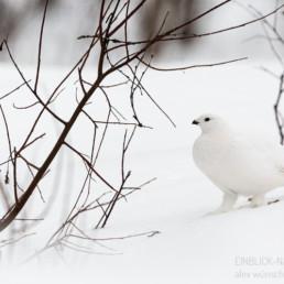 Alex Wünsch Alexandra Wünsch Einblick-Natur Fotografie Naturfotografie Winter Finnland Schnee riekko Schneehuhn Moorschneehuhn lagopus