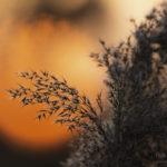 Alex Wünsch Alexandra Wünsch Einblick-Natur Fotografie Naturfotografie Schilf Sonnenuntergang Frühling