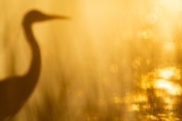 Alex Wünsch Alexandra Wünsch Einblick-Natur Fotografie Naturfotografie Graureiher unscharf Sonnenuntergang Sommer