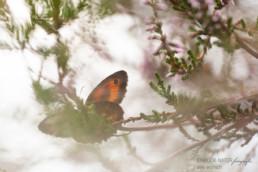 Alex Wünsch Alexandra Wünsch Einblick-Natur Fotografie Naturfotografie Schmetterling Sommer Rotbraunes Ochsenauge Heide Pyronia tithonus