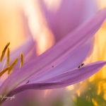 Alex Wünsch Alexandra Wünsch Einblick-Natur Fotografie Naturfotografie Herbst Herbstzeitlose Colchium autumnale
