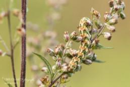 Alex Wünsch Alexandra Wünsch Einblick-Natur Fotografie Naturfotografie Sommer Beifuß Mönch Raupe Beifusse