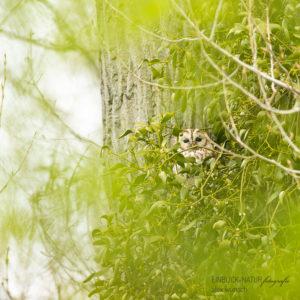 Alex Wünsch Alexandra Wünsch Einblick-Natur Fotografie Naturfotografie Frühling Waldkauz adult Strix aluco Düsseldorf