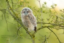 Alex Wünsch Alexandra Wünsch Einblick-Natur Fotografie Naturfotografie Frühling Waldkauz Ästling Jungtier Strix aluco Düsseldorf